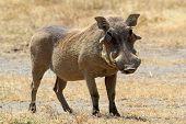 Un Warthog de pie