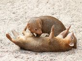Zwerg-Mongoose
