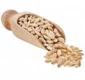 Pearl barley grains in wooden scoop isolated on a white background
