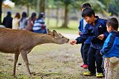 NARA, JAPAN - NOVEMBER 18: unidentified children feed wild deer senbei crackers November 18, 2012 in