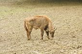 image of aurochs  - one young bison in their natural habitat - JPG