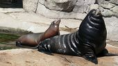 Sunbathing Sealion & Pup