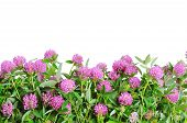 Red clover flower. White background
