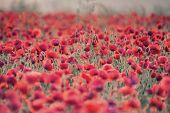 Poppy Field Landscape In Summer Countryside Sunrise With Differential Focus And Shallow Depth Of Fie