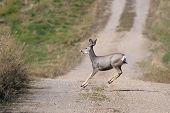 Jumping Mule Deer