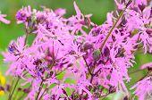 Coronaria Flos-cuculi (lychnis Flos-cuculi) Flowers poster