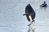 stock photo of canada goose  - A Canada Goose Landing on Frozen Lake - JPG