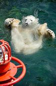 Polar Bear (ursus Maritimus) Swimming In The Water
