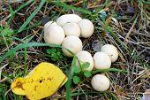 image of grebe  - Inedible mushroom - JPG