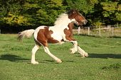 stock photo of foal  - Gorgeous irish cob foal running on pasturage in autumn