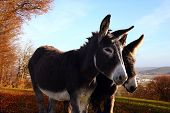 stock photo of donkey  - Donkeys that are in the countryside like the Sun - JPG