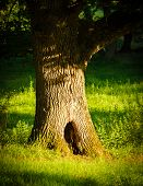 Oak Tree With Big Hole In Green Grass
