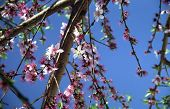 Peach Blossoms And Sky poster
