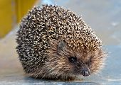 European Common Hedgehog