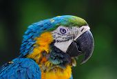 Close-up Of Blue-and-yellow Macaw, Ara Ararauna, Green Batskground. Portrait Of A Parrot On Blurred