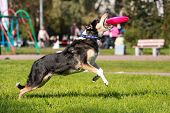 picture of frisbee  - Shorthair collie catching frisbee on green grass - JPG