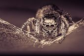 Abstract Macro Image Of A Jumping Spider