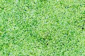 Group of duckweed