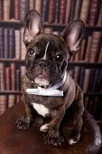 French bulldog puppy with neck bow