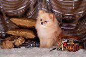 Pomeranian Spitz dog in luxury