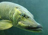 stock photo of musky  - Underwater photo of a big Northern Pike  - JPG