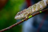 Chameleon on the tree branch in a forest. Madagascar