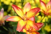 picture of asiatic lily  - Brightly colored Asiatic Lily in the summer garden - JPG