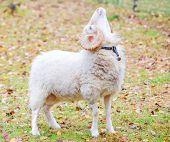 Dwarf white ram in forest