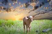 foto of longhorn  - Days old baby longhorn calf exploring the Texas prairie at sunrise - JPG