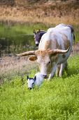 stock photo of texas-longhorn  - Female Longhorn cow grazing in a Texas pasture with her newborn calf - JPG