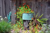 Planter With Orange Nasturtiums