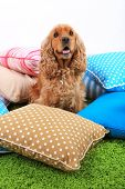 English cocker spaniel with pillows in room