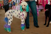Poodle Dyed With Polka Dots And Colors At Festival