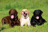 Three Labrador Retriever dogs on the grass