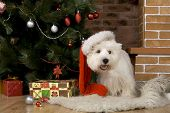West haigland white terrier, christmas