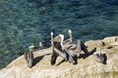 Pelikane in La Jolla, Kalifornien