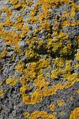Yellow Lichen On Rocks