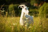 pic of goat horns  - White horned goat grazed on a green meadow summer day - JPG