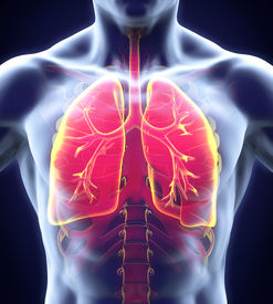 image of respiratory  - Human Respiratory System Illustration  - JPG