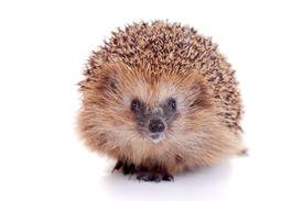image of laughable  - European hedgehog - JPG