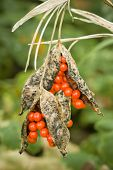 Red Berries Inside Pods On Ornamental Plant