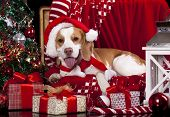 dog in a Santa Claus hat and present