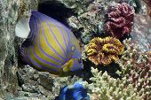 picture of angelfish  - Colorful Bluering angelfish on corals reef in Aquarium.