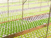 pic of water cabbage  - Hydroponic cabbage vegetables growing in greenhouse farm - JPG