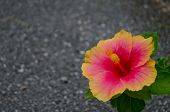 Red And Pink Flower