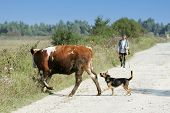 Cow And Dog Crossing Road
