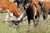 Dog In Cow Flock