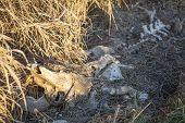 foto of cow skeleton  - A close up of a cow skeleton in the underbrush - JPG