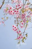 Himalayan Cherry Is Pink Flower