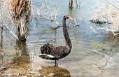 Black swan (Cygnus atratus) seen near Rotorua, New Zealand